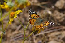 Painted Lady on Brittlebush von Pat Goltz