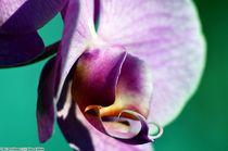 Orchideae 2 by Ridzard  König