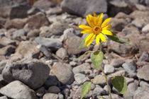the solar flower growing among stones by yulia-dubovikova