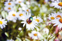 may-bug on a camomile flower, Russia by yulia-dubovikova