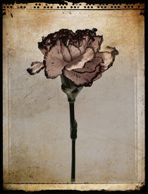 Pink Carnation by Dave Milnes