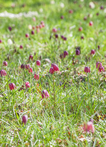 Fritillaria in Spring by Graham Prentice