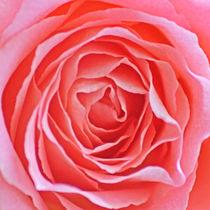 Pink Rose by James Biggadike