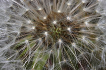 Dandelion by ropo13