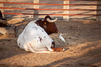 "Ranch ""El Grullo"": castrated bull by Riccardo Valsecchi"