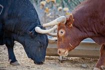 "Ranch ""El Grullo"": Bull Arrojado vs Bull Bentanido by Riccardo Valsecchi"