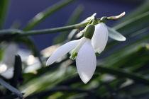 Schneeglöckchen - Snowdrop von ropo13