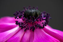 Lila Anemone II by AD DESIGN Photo + PhotoArt