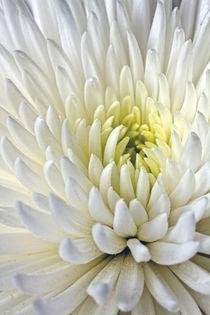 White Dahlia by Alice Gosling