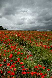 Poppy-before-the-storm