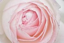 Imgp9153-rose
