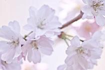 Frühlingsblüten by Katharina Weigl
