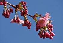 Japanische Kirschbaumblüte by Wolfgang Dufner