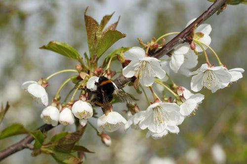 Kirschbluetenzeit