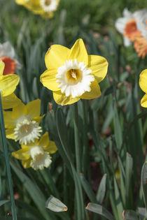 Spring Daffodil von Graham Prentice