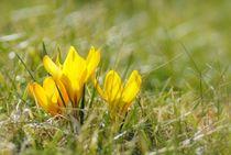 Frühlingsboten by tinadefortunata