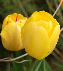 Gelbe Tulpe mit einem winzigen Erdenbewohner von Anke Franikowski