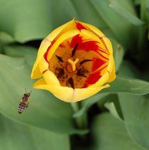 Eine Tulpe mit Biene von Anke Franikowski