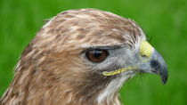 Red-tailed Hawk  by John Biggadike