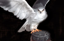 Black-shouldered Kite von John Biggadike