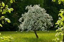 Apfelbaum im Frühling von Matthias Hauser