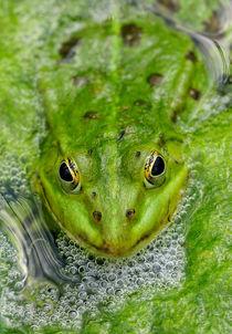 Grüner Frosch im Teich by Matthias Hauser
