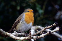 European Robin by John Biggadike