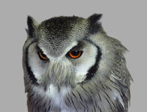 Southern white-faced owl von John Biggadike