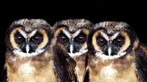 Tropical-screech-owls