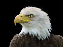 American Bald Eagle von John Biggadike