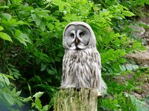 Great Grey Owl (Strix Nebulosa Lapponica) von John Biggadike