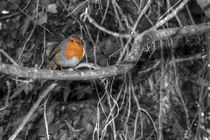 Robin by daysphotographic