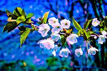 Obstblüte von Michael Johansen