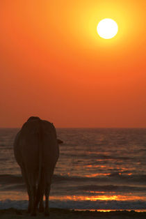 Cow Watching the Sunset Arambol by serenityphotography