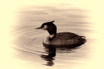 Great Crested Grebe by deanmessengerphotography