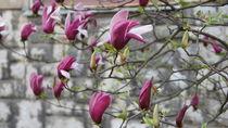 magnolias in bloom by Milena Zindovic