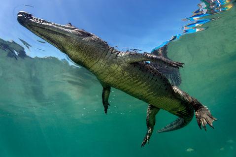 Crocodileunderwater