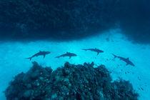 Shark Alley von Norbert Probst