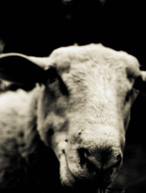 Close-up of a sheep  by Lars Hallstrom