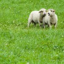 Two lambs on pasture by Lars Hallstrom