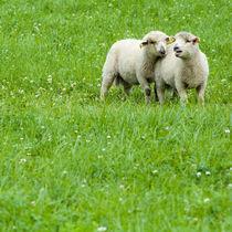 Two lambs on pasture von Lars Hallstrom