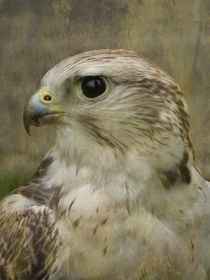 Lanner or Saker Falcon by Jacqi Elmslie