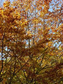 Autumn Leaves  by Sarah Osterman