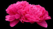 Pink Peony von John Biggadike
