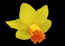 Daffodil or Narcissus von John Biggadike