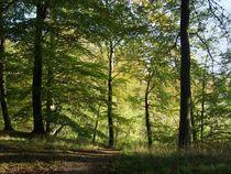 Beech Forest  von Sarah Osterman