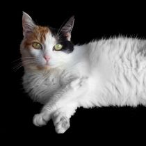 Calico Cat on Black  by Sarah Osterman