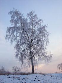 Snowy Birch  by Sarah Osterman