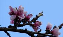 Pfirsichblüte, Frühling von Simone Cuambe