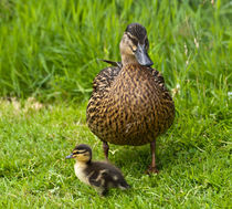 Baby duck by Sam Smith
